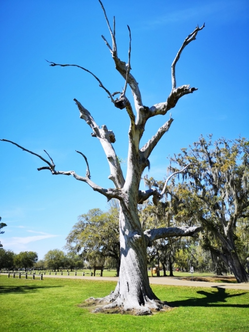 We haven't seen very many dead Live Oaks - is that an oxymoron