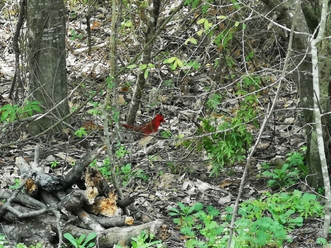Cardinal by the campsite