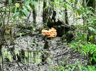 Orange tree fungus