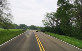 Flock of vultures eat dead deer on the road